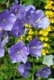 Campanula ou cloches de Cantorbéry bleu. Image stock