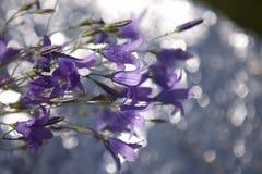 Campanula patula Stock Image