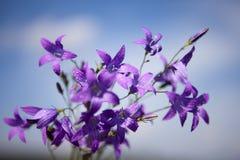 Campanula patula Royalty Free Stock Images