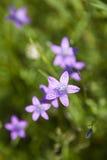 Campanula patula Stock Photography