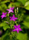 Campanula patula flowers Royalty Free Stock Photography
