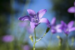 Campanula patula spreading bellflower in bloom on the meadow against blue sky. One Campanula patula spreading bellflower in bloom on the meadow, sunlight, small stock image