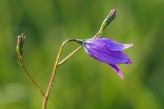 Campanula patula. Spreading Bellflower (Campanula patula) in the garden Royalty Free Stock Image