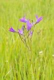 Campanula patula. Violet bell flower in the grass - Campanula patula Stock Image