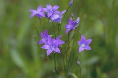 Campanula patula wild flowering plant, beautiful purple spreading bellflowers flowers in bloom. On green meadow stock images