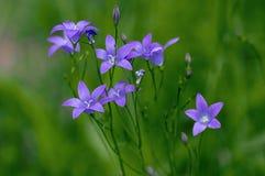 Campanula patula wild flowering plant, beautiful purple spreading bellflowers flowers in bloom. On green meadow stock photos