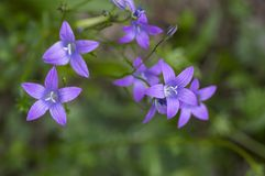 Campanula patula wild flowering plant, beautiful purple spreading bellflowers flowers in bloom. On green meadow royalty free stock photo