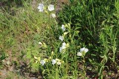 Campanula persicifolia bloom in the garden Stock Photos