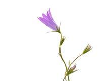Campanula persicifolia L. subsp. persicifolia, wild flower. Stock Photography