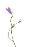 Campanula persicifolia L. subsp. persicifolia, wild flower. Stock Images