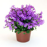 Campanula plant Royalty Free Stock Photos
