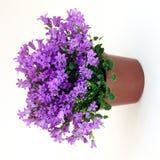 Campanula Plant Royalty Free Stock Photos