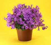 Campanula plant. Campanula young pot plant in flowering time with little violet flowers isolated on the yellow background Stock Image