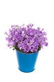 Campanula Plant Royalty Free Stock Image