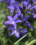 Campanula poscharskyana Stock Photography