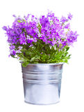Campanula in a pot Royalty Free Stock Images