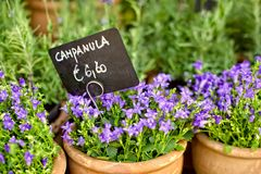 Campanula in pot. Campanula in pot with the price tag stock images
