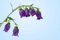 Campanula, primo piano del fiore del bellflower Immagine Stock