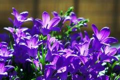 Campanula - purple flowers Royalty Free Stock Photography