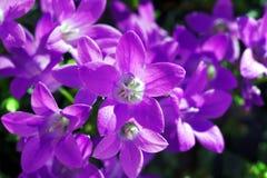 Campanula - purple flowers Stock Image