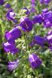 Campanula purple flowers Stock Images