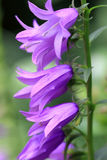 Campanula rapunculoides is a herbaceous perennial plant Stock Image