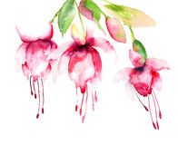 Campanula. Red Campanula flowers, watercolor illustration Stock Images