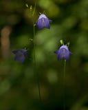 Campanula rotundifolia Royalty Free Stock Photos