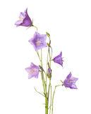 Campanula rotundifolia Royalty Free Stock Photo