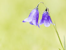 Campanula sp. Royalty Free Stock Image