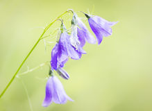 Campanula sp. Royalty Free Stock Photos