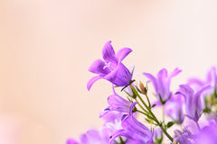 Campanula spring flowers Royalty Free Stock Image