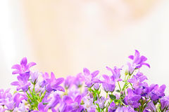 Campanula spring flowers Royalty Free Stock Photography