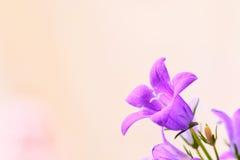 Campanula spring flowers Stock Photos