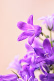 Campanula spring flowers Royalty Free Stock Photo