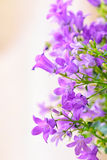 Campanula spring flowers Stock Photography