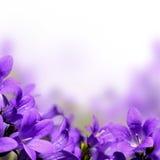 Campanula spring flowers border Stock Image