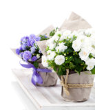 Campanula terry with blue and white flowers Stock Photo