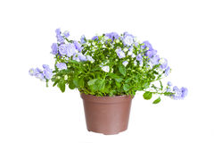 Campanula terry Stock Images