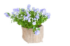 Campanula terry Royalty Free Stock Photography