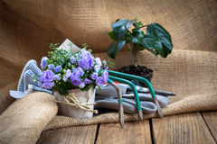 Campanula terry flowers with gardening tools Royalty Free Stock Images