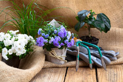 Campanula terry flowers with gardening tools Stock Photo