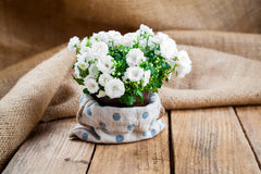 Campanula terry flowers in paper packaging Stock Image