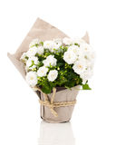 Campanula terry flowers in paper packaging Royalty Free Stock Images