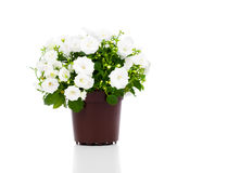 Campanula terry with white flowers Stock Images