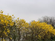 Campanula tree in cloudy dayBlooming flowers Yellow gold Blooming flowers stock images