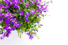 Campanula on white background. Close up picture of lilac campanula isolated on white background with copy space stock photo