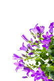 Campanula on white background. Close up picture of lilac campanula isolated on white background with copy space royalty free stock images