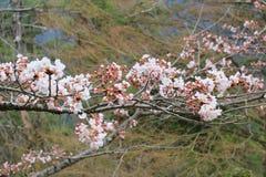 Campanulata del Prunus Immagini Stock