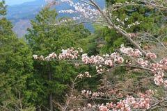 Campanulata del Prunus Fotografia Stock